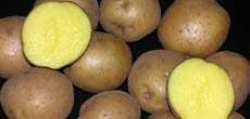 kentang-1.jpg